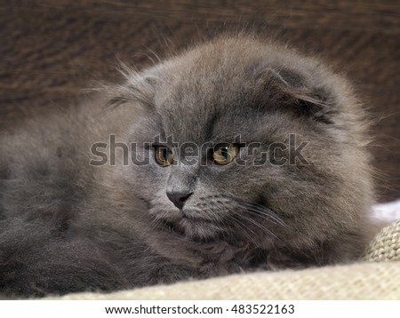 Portrait of a cute fluffy kitten. Cat gray lop-eared. The nose is black. Background wooden board