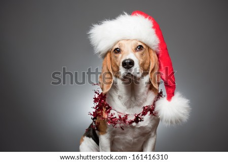 Portrait of a cute funny beagle christmas dog. - stock photo