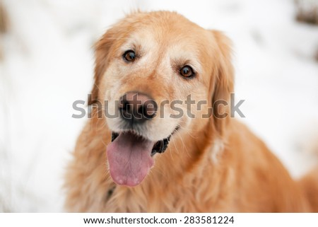 Portrait of a cute golden retriever smiling happily in the snowy outdoors