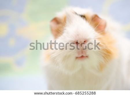 Portrait of a cute guinea pig against a bright background (shallow DOF, selective focus on the guinea pig nose), with copy space on the left