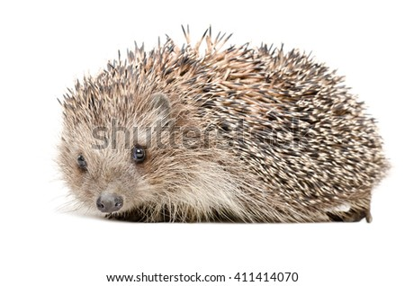 Portrait of a cute hedgehog isolated on white background - stock photo