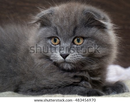 Portrait of a cute kitten. Grey, lop-eared cat with huge yellow eyes. Fluffy cat on the background of wooden wall. Animal afraid, afraid