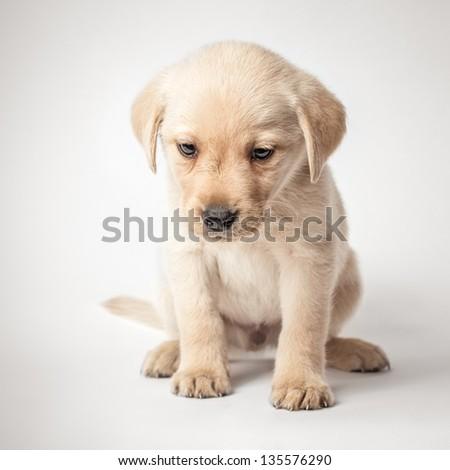 Portrait of a cute labrador retriever puppy - stock photo