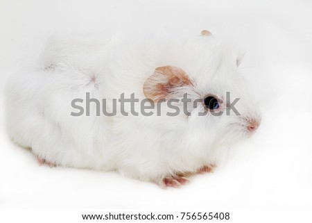 Portrait of a cute little black and white guinea pig