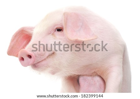 Portrait of a cute pig, on white background - stock photo