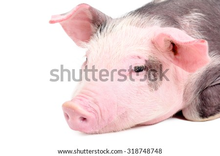 Portrait of a cute piglet, closeup, isolated on a white background
