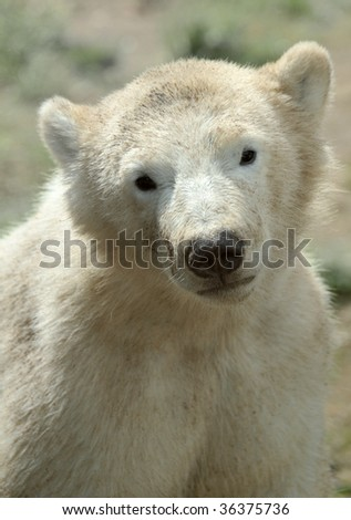 portrait of a cute polar bear cub - stock photo