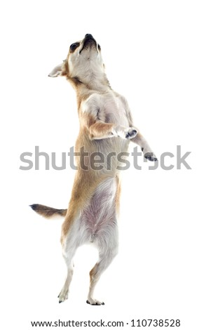 portrait of a cute purebred  chihuahua standing on his hind legs - stock photo