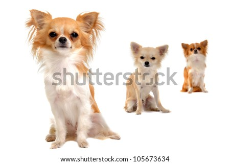 portrait of a cute purebred  chihuahua with two chihuahuas in the background