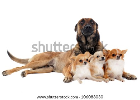 portrait of a cute purebred chihuahuas and malinois in front of white background - stock photo