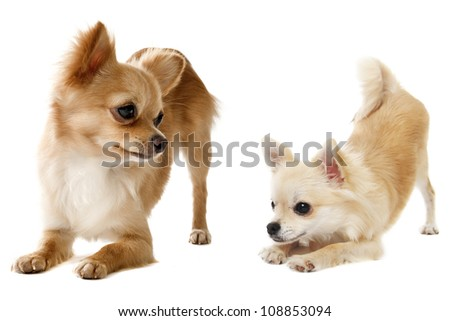 portrait of a cute purebred  playing chihuahuas in front of white background - stock photo
