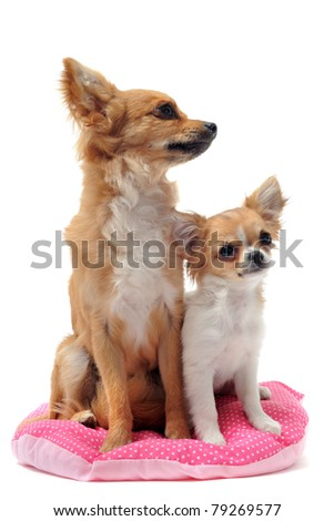 portrait of a cute purebred  puppy chihuahua and adult in front of white background