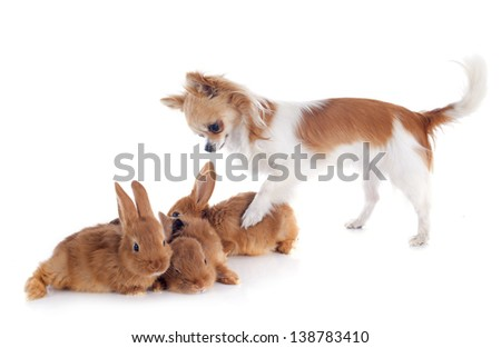 portrait of a cute purebred  puppy chihuahua and bunnies in front of white background