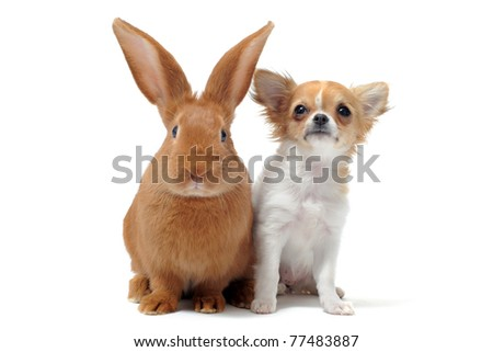 portrait of a cute purebred  puppy chihuahua and bunny in front of white background