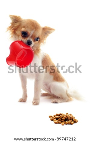 portrait of a cute purebred  puppy chihuahua and his food bowl - stock photo