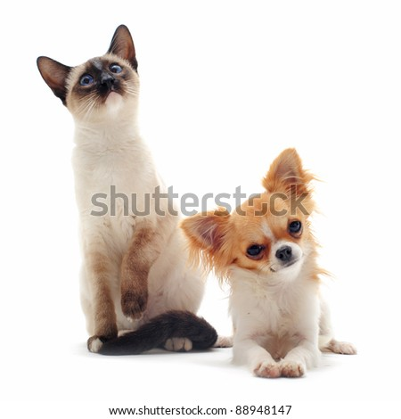 portrait of a cute purebred  puppy chihuahua and siamese kitten in front of white background - stock photo