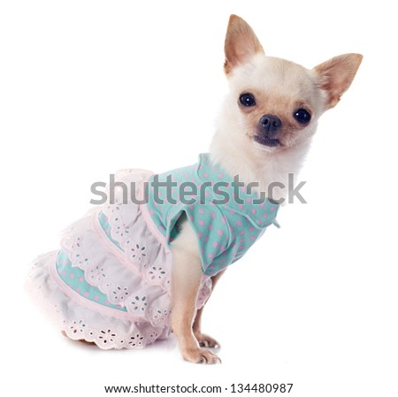 portrait of a cute purebred  puppy chihuahua dressed in front of white background