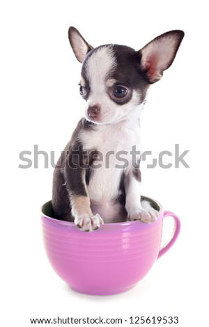 portrait of a cute purebred  puppy chihuahua in a cup