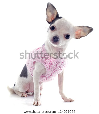 portrait of a cute purebred  puppy chihuahua with a coat in front of white background - stock photo