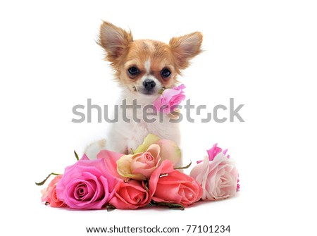 portrait of a cute purebred  puppy chihuahua withe roses in front of white background - stock photo