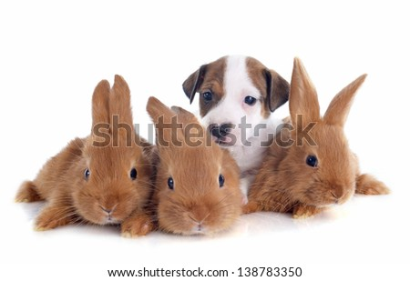 portrait of a cute purebred  puppy jack russel terrier and bunnies in front of white background - stock photo