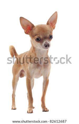 portrait of a cute purebred  short hair chihuahua in front of white background