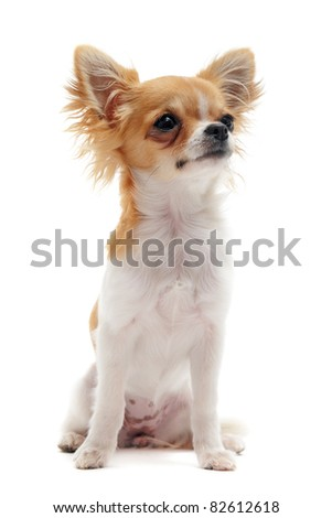 portrait of a cute purebred young chihuahua in front of white background