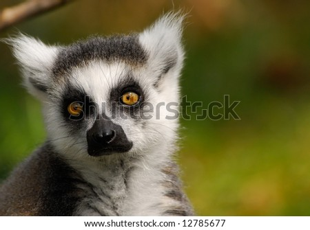 portrait of a cute ring-tailed lemur - stock photo