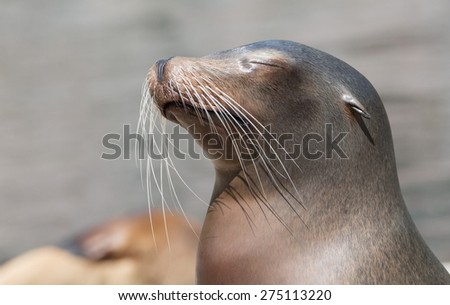 Portrait of a cute sea lion basking in the warm spring sun of northern Germany - stock photo