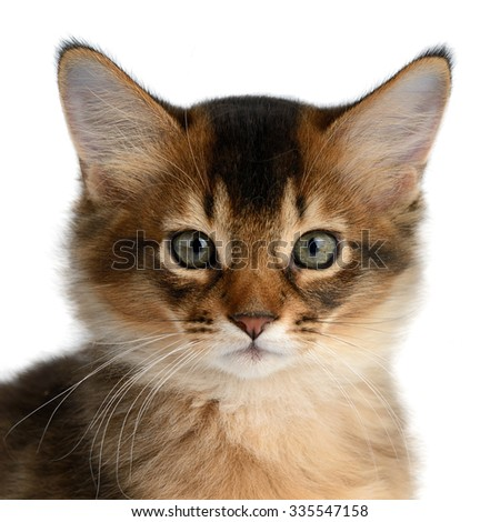 Portrait of a cute somali kitten isolated on white background - stock photo