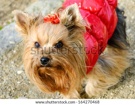 Portrait of a cute yorkshire terrier in red coat and with red golden bow on the head . Outdoor. - stock photo
