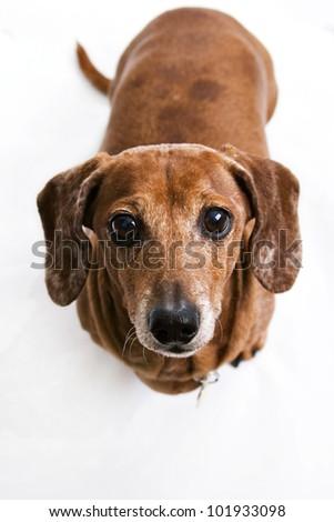 portrait of a Dachshund - stock photo