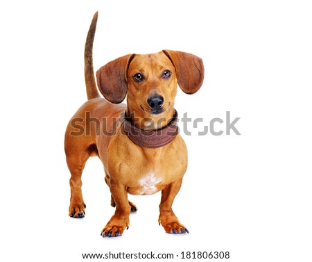 portrait of a dachshund dog