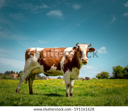 Portrait of a dairy cow - stock photo