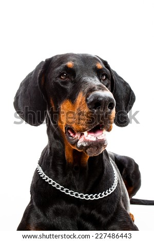 Portrait of a Doberman pinscher dog isolated on white