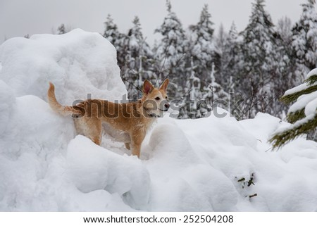 portrait of a dog among winter snowdrifts - stock photo