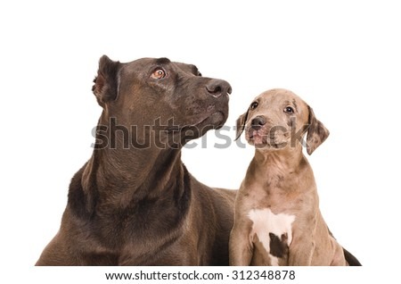 Portrait of a dog and a puppy pit bull closeup together isolated on a white background - stock photo
