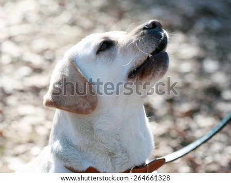 portrait of a dog breed Labrador - stock photo