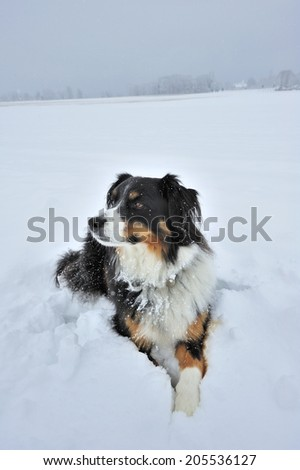 Portrait of a dog (cross between a Border Collie and an Appenzell breed) lying in the snow. Space for text in the sky or on the snow.