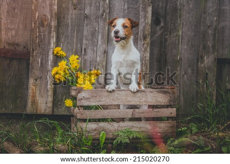 Portrait of a dog. Dog on the ruins, ancient, beautiful, Jack Russell Terrier