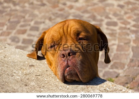 Portrait of a dog - Dogue de Bordeaux