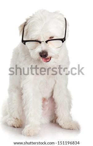 portrait of a dog in glasses. Funny white dog in glasses - stock photo