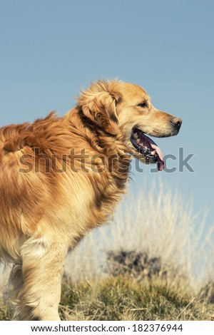 Portrait of a dog in outdoor, golden - stock photo