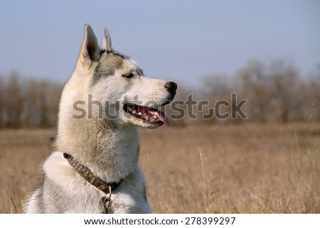 Portrait of a dog in profile close up. Siberian husky