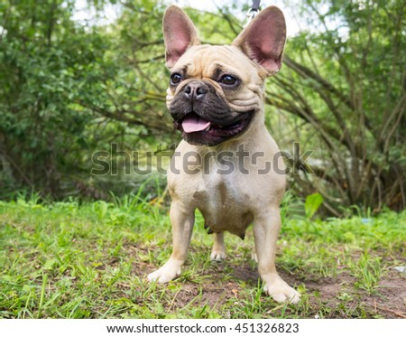 portrait of a dog muzzle breed french bulldog on a leash in the park, light color with a black muzzle, standing on the grass