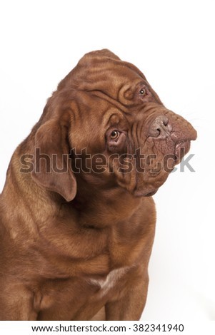 Portrait of a dog of breed Dogue de Bordeaux red flowers with a big muzzle and on a white background.