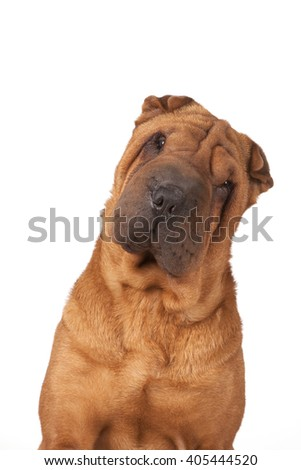 Portrait of a dog of breed of Shar Pei of red color with a big muzzle and a big nose small gases and ears.
