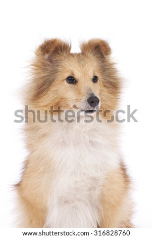 portrait of a dog of breed of Shetland Sheepdog of red color on a white background. - stock photo