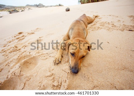 Portrait of a dog on the beach in Sri Lanka