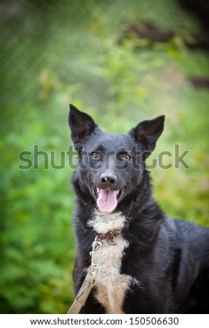 portrait of a dog on the nature of the breed - stock photo